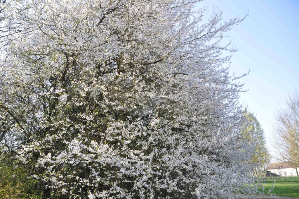 Arbre-fleur-blanche-1