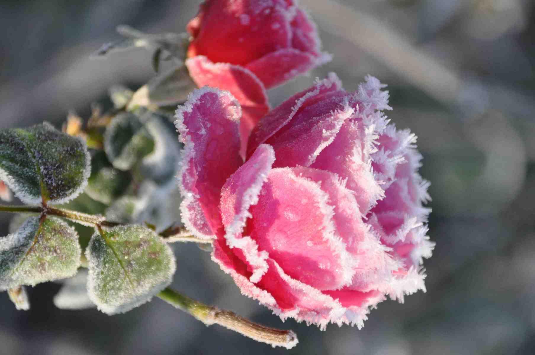 Rose-glacée