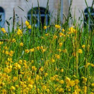 Fleurs jaunes et chateau